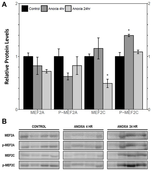 Relative protein abundance of total and phosphorylated forms of MEF2A/C in wood frog skeletal muscle under control, 4 h anoxia, and 24 h anoxia, as determined by immunoblotting.