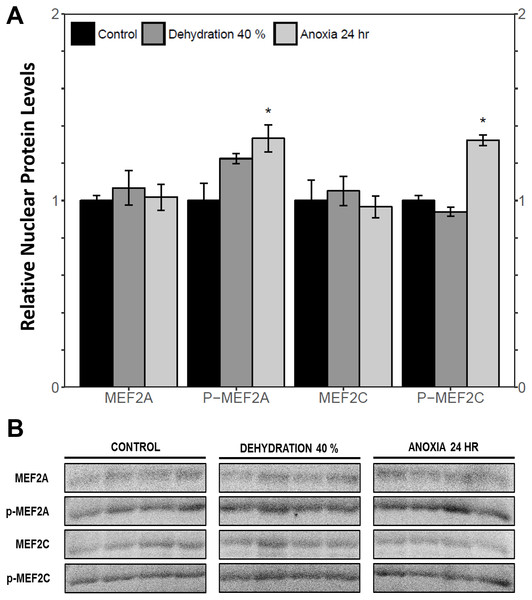 Nuclear distribution of total and phosphorylated forms of MEF2 proteins in wood frog skeletal muscle under control, 40% dehydration, and 24 h anoxia, as determined using immunoblotting.