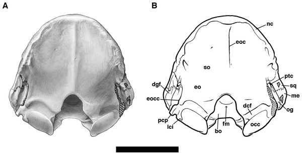 Skull of Holmesina floridanus in posterior view.