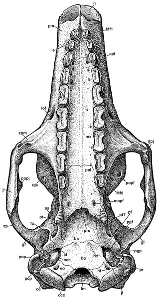 Reconstruction of the skull of Holmesina floridanus in ventral view.