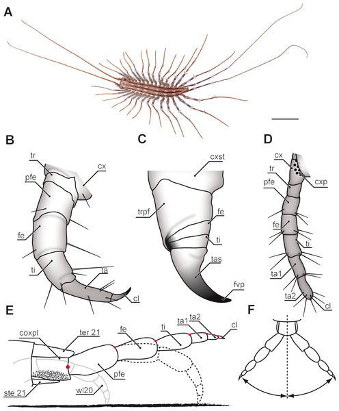 Overview of centipede appendages.