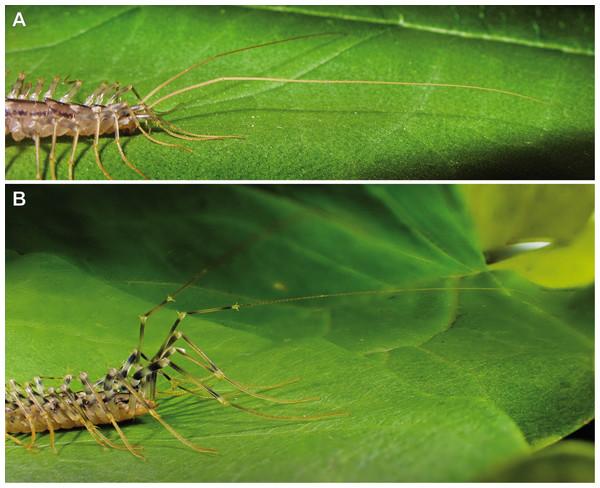 Posture of antennae and ultimate legs in Scutigeromorpha.