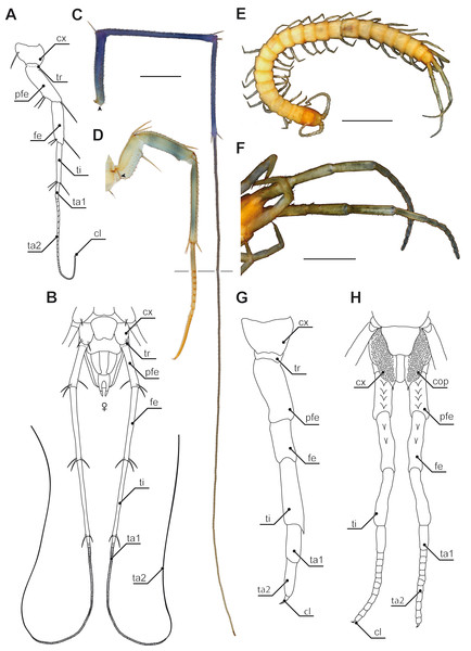 Ultimate legs in Scutigeromorpha and Newportia spp.