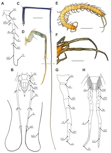 Ultimate legs in Scutigeromorpha and Newportia spp.