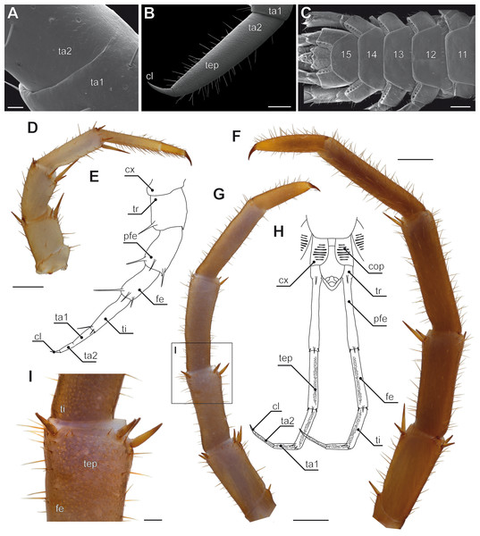 Aspects of ultimate legs in Lithobius forficatus.