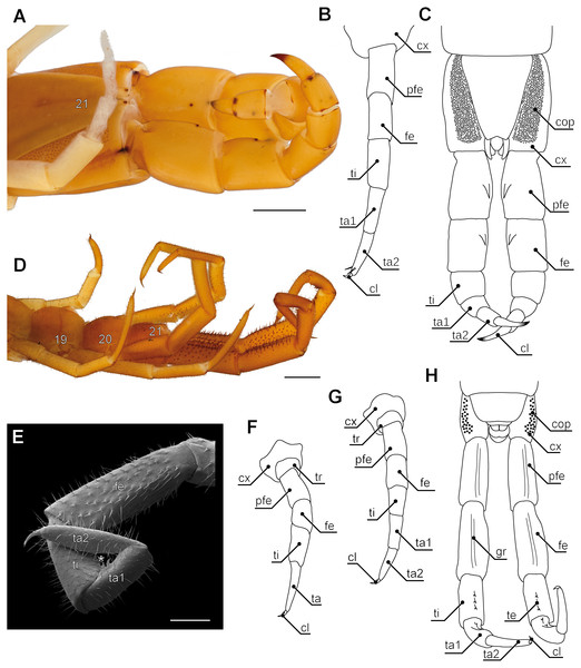 Aspects of ultimate legs in Theatops spp. and Cryptops hortensis.