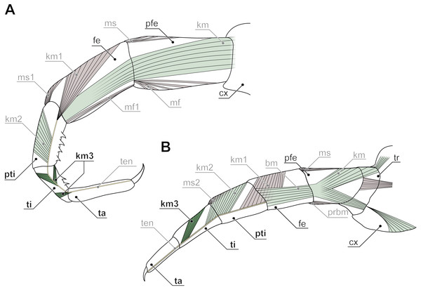 Intrinsic muscles in centipede ultimate legs (modified after Verhoeff, 1903).