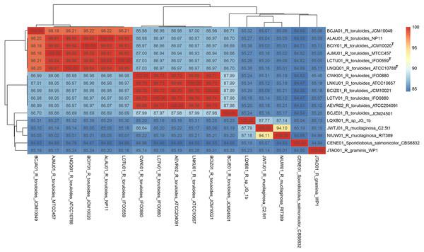 Pairwise average nucleotide identity calculation of Rhodotorula genomes.