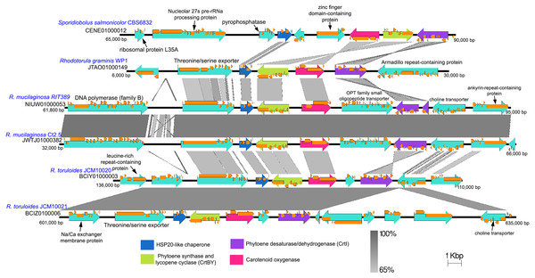 Comparison of genomic sub-region containing the gene cluster associated with carotenoid biosynthetic pathway.