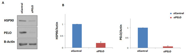 Knockdown of PELO reduced the Hsp90 levels in mammalian cells.