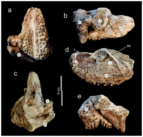 Supradapedon stockleyi, SAM-PK-11704 (holotype), skull fragment in (A) ventral; (B) medial; (C) dorsal; (D) lateral; and (E) caudal views.
