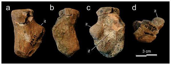 Supradapedon stockleyi, SAM-PK-11705, proximal portion of the right femur in a, dorsal; b, caudal; c, ventral; and d, proximal views.