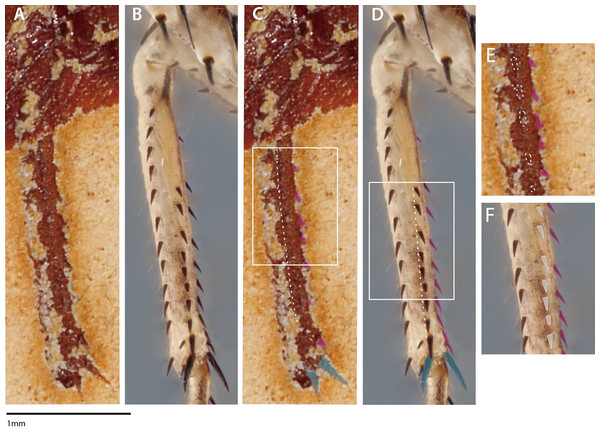 Mesothoracic tibiae of Santanmantis axelrodi MB.I.2068 (A, C, E) and Chaeteessa sp. (B, D, F) in ventral view.