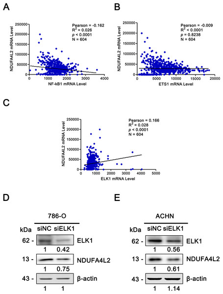 ELK1 regulated the expression of NDUFA4L2.