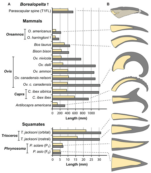 Comparisons of the size of the bony core and keratinous sheath of the parascapular spine of Borealopelta to modern bovid and squamate analogues.