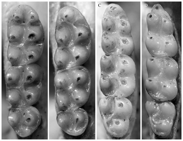 Molar morphology of species of Rhagomys.