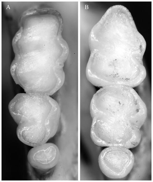 Molar series of Neusticomys peruviensis.
