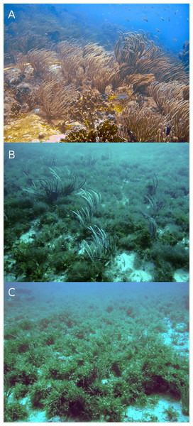 Typical reefscapes of Madagascar reef, Gulf of Mexico: the shallow (depth: 6.8 ± 1.4 m) rocky reef crest (A), and the deeper sandy leeward (14.8 ± 0.16 m) (B) and windward (16.2 ± 2.6 m) (C) regions.