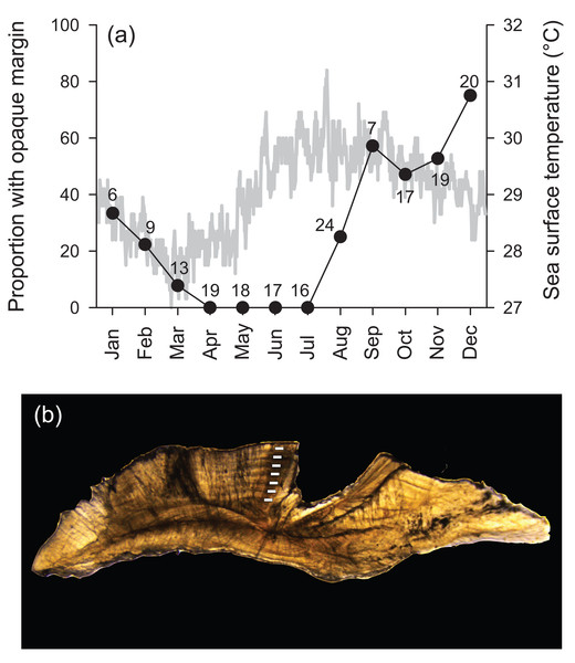 (A) Frequency of opaque edge deposition by month in transverse sections of Hipposcarus longiceps otoliths plotted with sea surface temperature (satellite derived, Terra MODIS database, 2010). Numbers associated with data points indicate sample sizes. (B) Photomicrograph of a transverse section of a Hipposcarus longiceps otolith viewed with transmitted light.