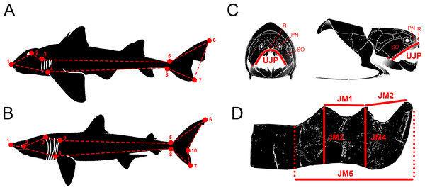 Descriptive diagrams showing (A–B) the landmark and wireframe configurations used in the geometric morphometric analyses of sharks and (C–D) the variables considered for the total body length estimations of Dunkleosteus terrelli.