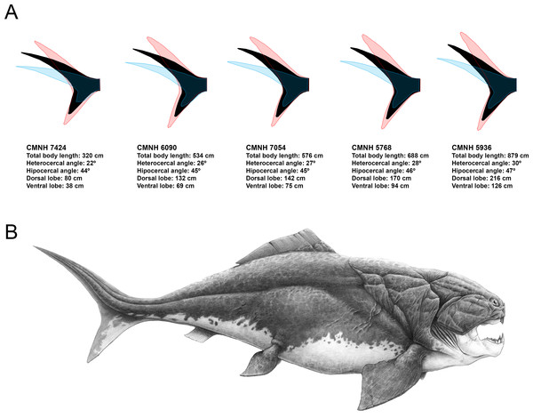 Caudal fin shape inferences in Dunkleosteus terrelli.
