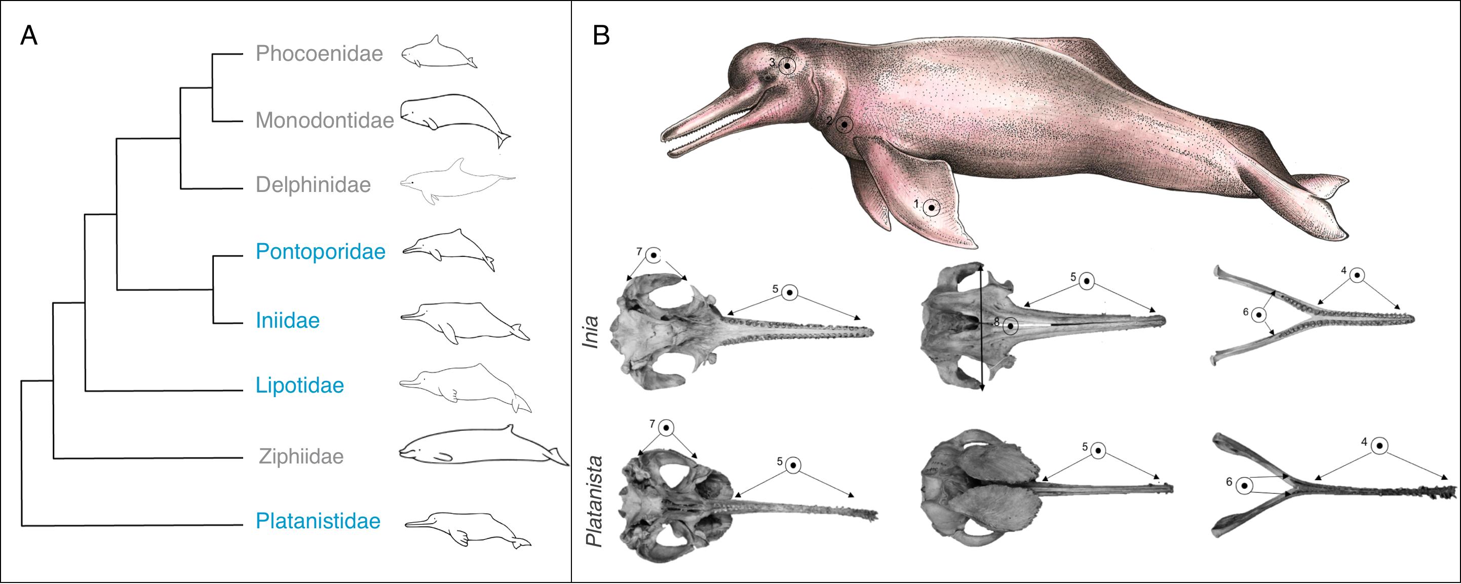 Morphological convergence in \'river dolphin\' skulls [PeerJ]