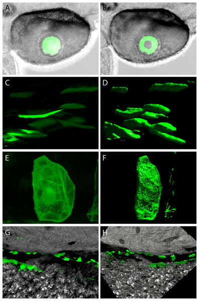 Confocal imagery showing representative sites of GFP expression produced by mouse and zebrafish α-crystallin promoters.
