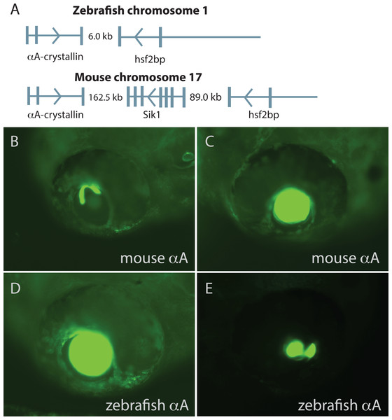 Comparison of mouse and zebrafish αA-crystallin chromosomal arrangement and their ability to drive GFP expression in zebrafish embryos.