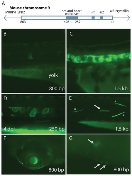 Mouse αB-crystallin promoter fragments produced native expression in zebrafish embryos.