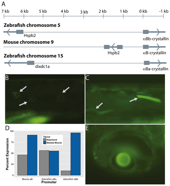 The paralogous zebrafish αBa- and αBb-crystallin promoters produced similar, but distinct, GFP expression profiles.