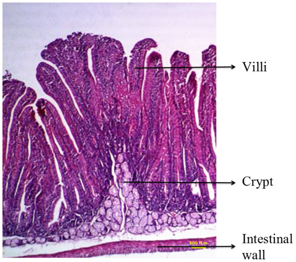 Duodenal structure of weaned rabbits (HE staining, 100×).