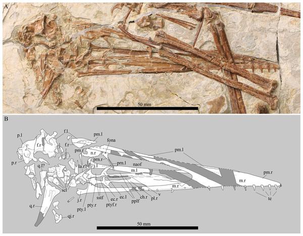 Details of the skull of Kunpengopterus sinensis (IVPP V 23674).