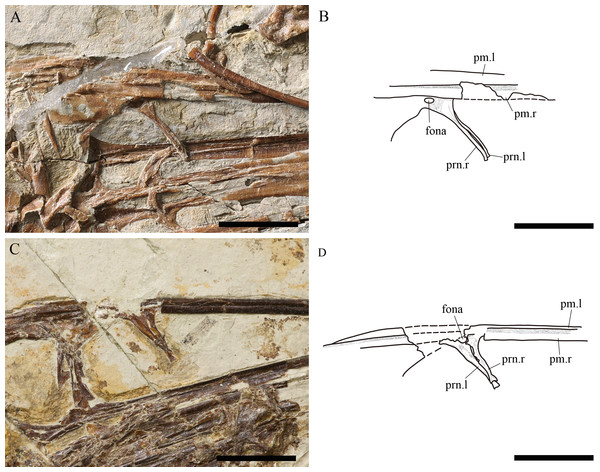 Comparison between the nasal processes of both specimens of Kunpengopterus sinensis; IVPP V 23674 (referred specimen) and IVPP V 16047 (holotype).