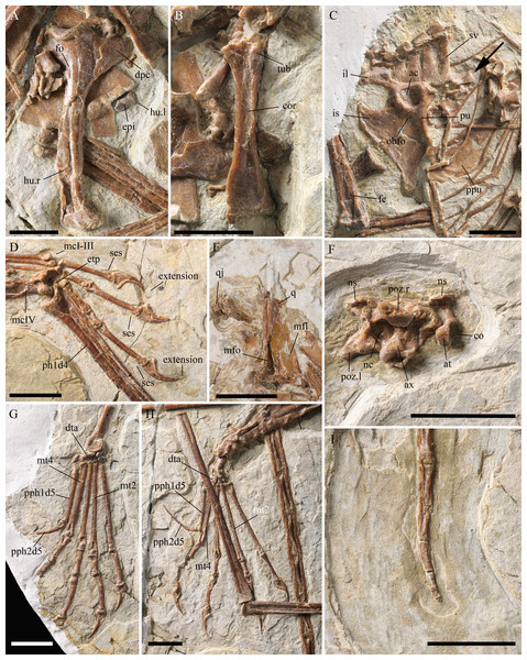 Details of the skeleton of Kunpengopterus sinensis (IVPP V 23674).