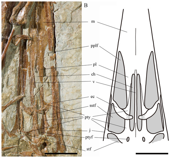 Reconstruction of the partial palate region of Kunpengopterus sinensis (IVPP V 23674) in dorsal view.