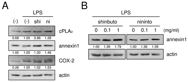 Effects of kampo medicines on cPLA2, annexin1, and COX-2 expression.