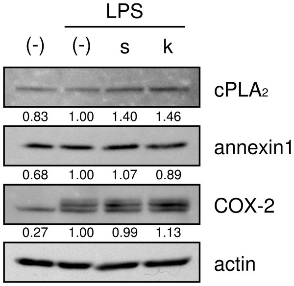 Effects of shokyo and kankyo on cPLA2, annexin1, and COX-2 expression.