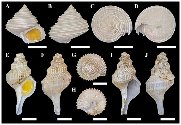 Specimens of the two gastropods collected from hydrothermally influenced areas.