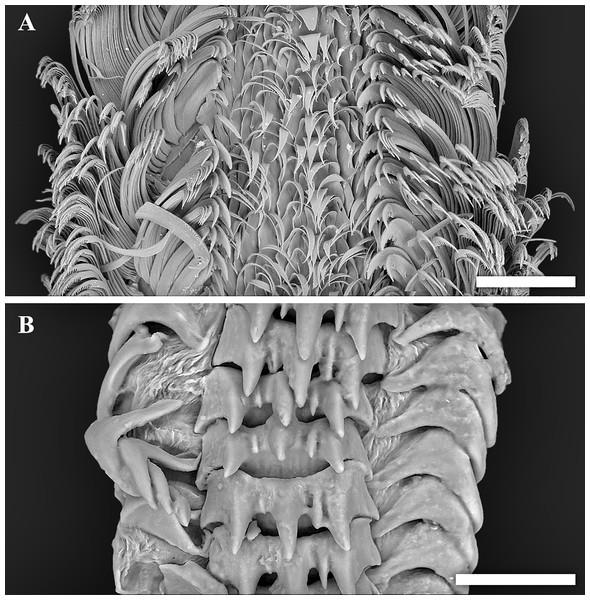 Scanning electron micrographs of radulae.