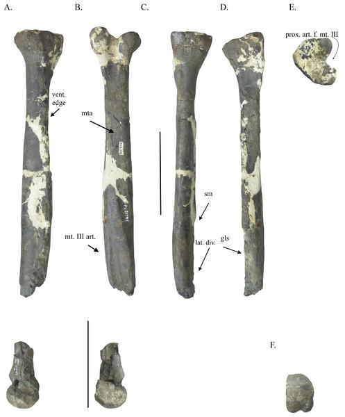 Metatarsal IV of YPM VPPU.021795.