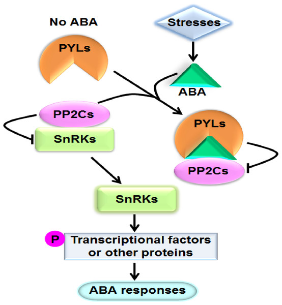 A model showing the ABA key signal transduction pathway.