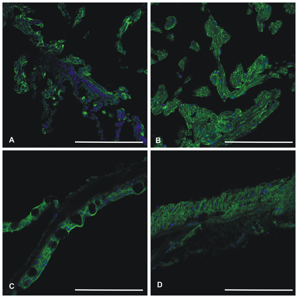 Immunohistochemistry of CA VI–PTX in adult zebrafish tissues.