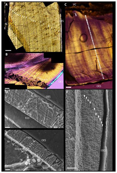 Dental microstructure in Therizinosauria.