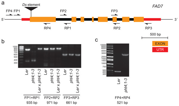 The pht4;1-3 line contains an insertion in the FAD7 gene.
