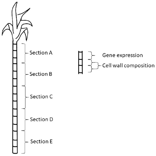 Schematic of sampling sections along the sugarcane stem.