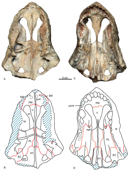 Holotype of Shiguaignathus wangi (IVPP V 23297) from the Naobaogou Formation of China.