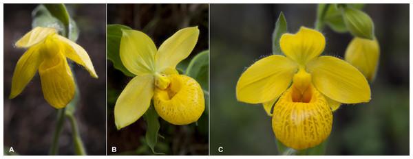Flowers of Cypripedium.