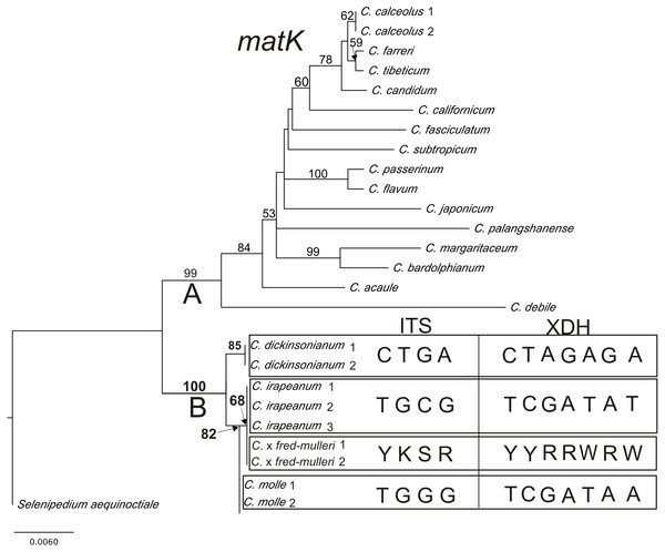 The phylogenetic tree based on matK gene sequences obtained by the maximum-likelihood method for Cypripedium.