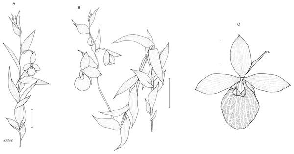 Cypripedium×fred-mulleri.