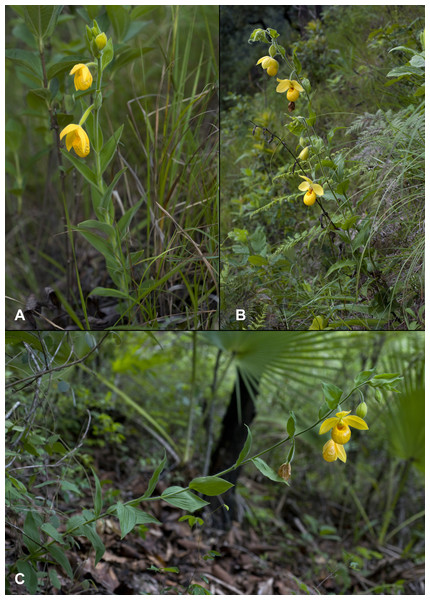 Comparison of the habit of Cypripedium dickinsonianum (A), C. irapeanum (B) and C.×fred-mulleri (C).